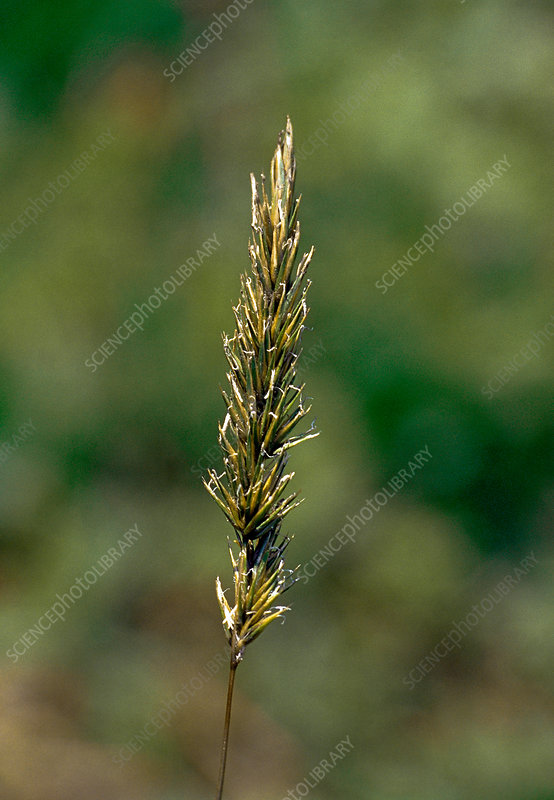 Smooth Brome Grass