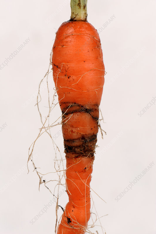 Carrot root fly damage