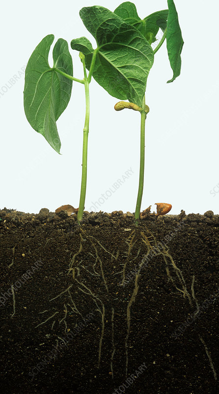 French bean root system