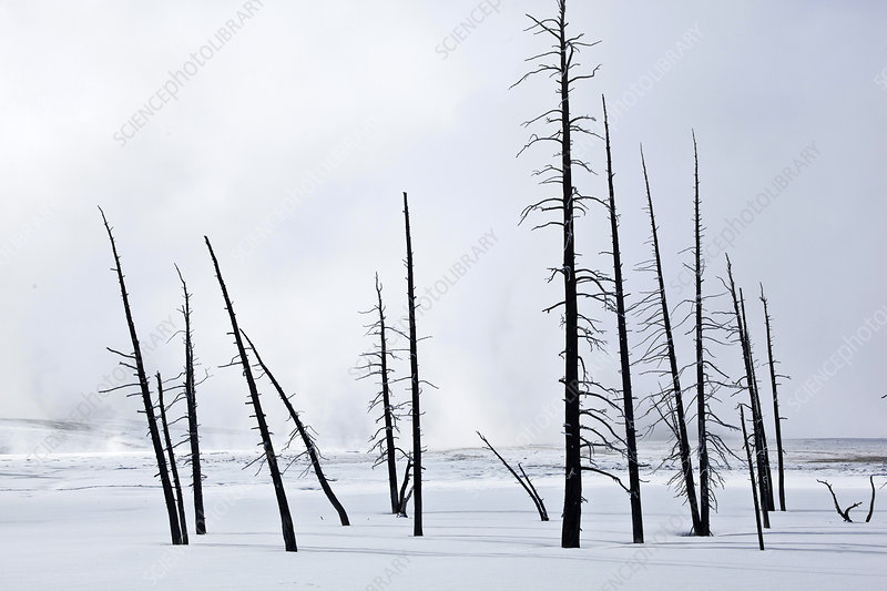 Geothermally Killed Trees, Yellowstone