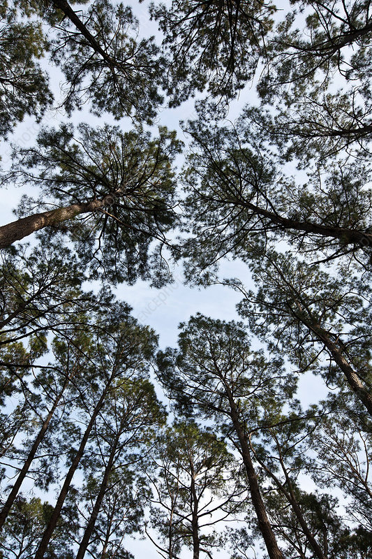 Loblolly Pine forest canopy