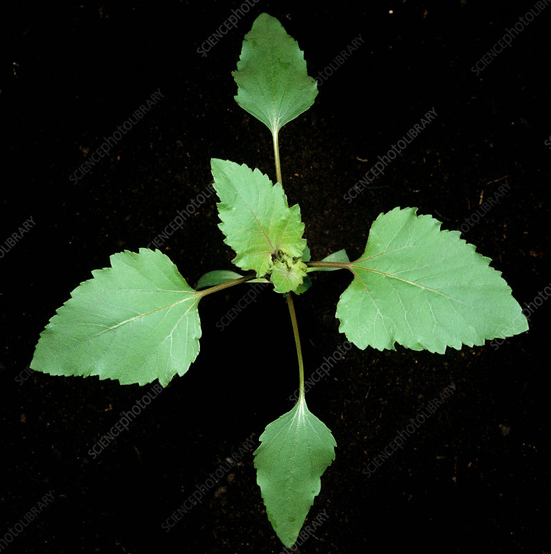 Cocklebur seedling - Stock Image C012/1051 - Science Photo
