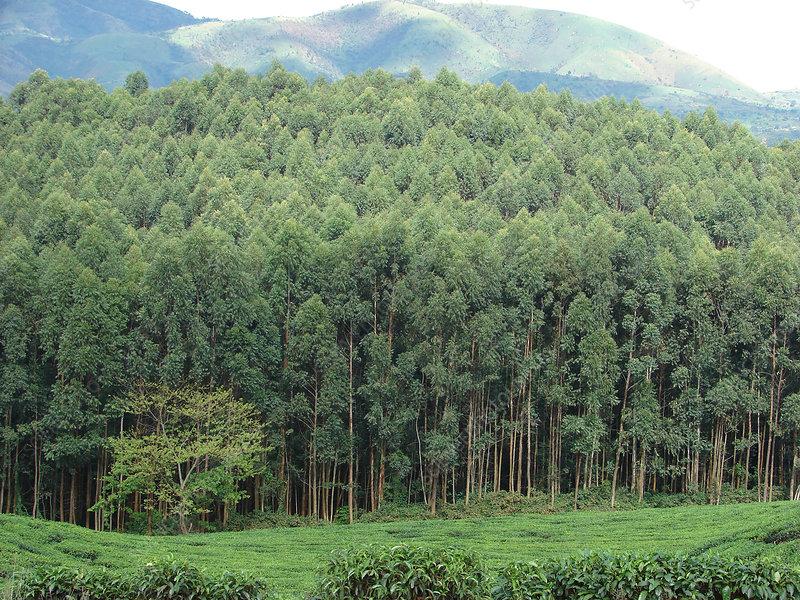 Bwindi Impenetrable National Park, Uganda