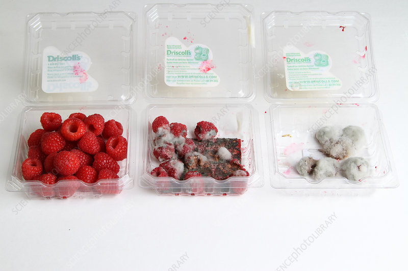 Raspberries Growing Mold