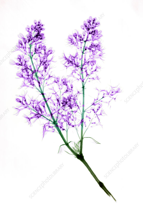 X-ray of Blooming Lilac