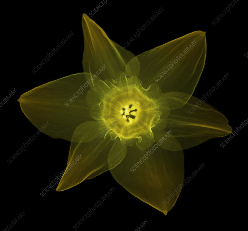 X-ray of Daffodil Flower