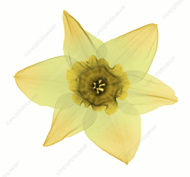 X-ray of Daffodil Flower