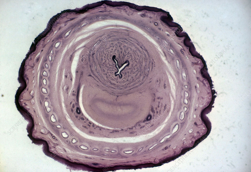 Transverse Section of Dog's Penis