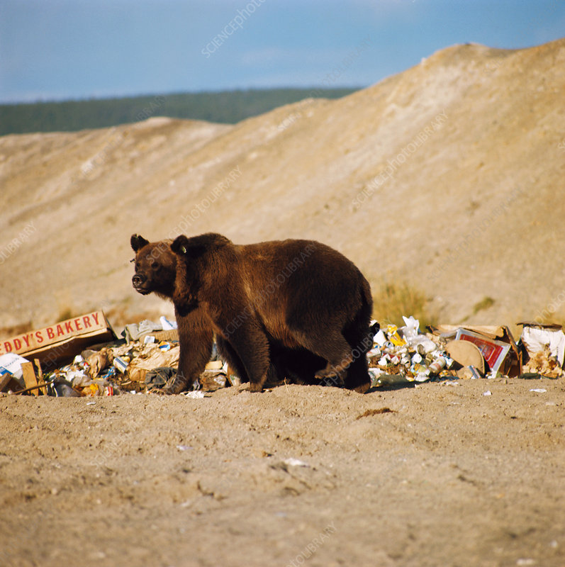 Grizzly Bear and Garbage