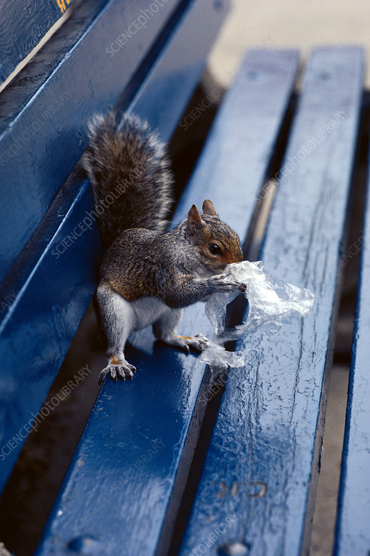 Squirrel Eating Crumbs from Litter