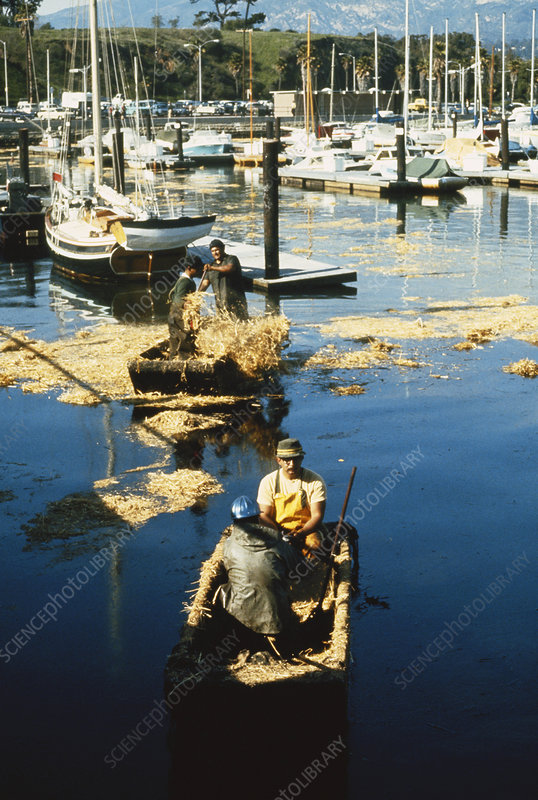 Oil Spill Cleanup, Santa Barbara, 1969