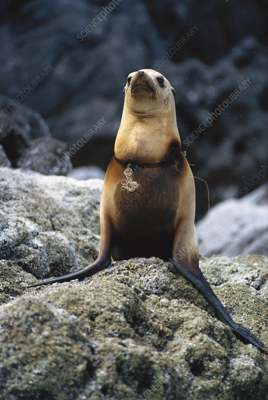 California Sea Lion Tangled in Fishnet
