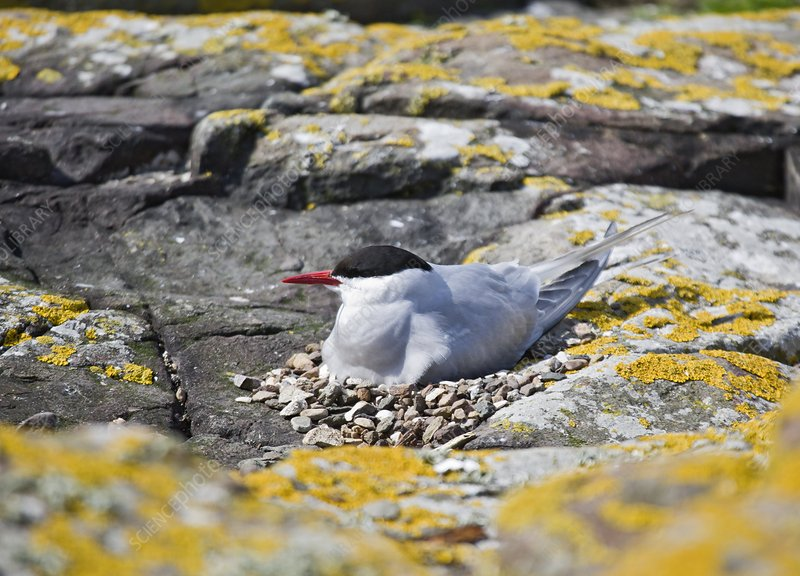 Arctic tern on its nest