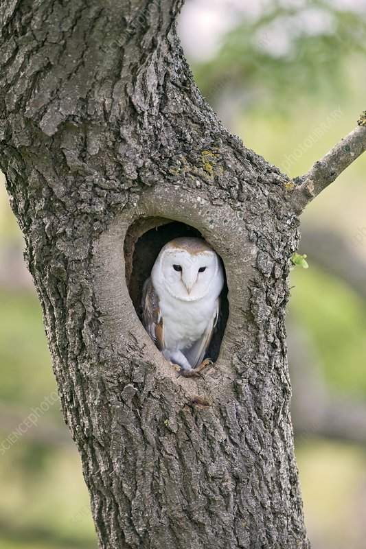 barn owl in a tree stock image c012 1697 science photo library