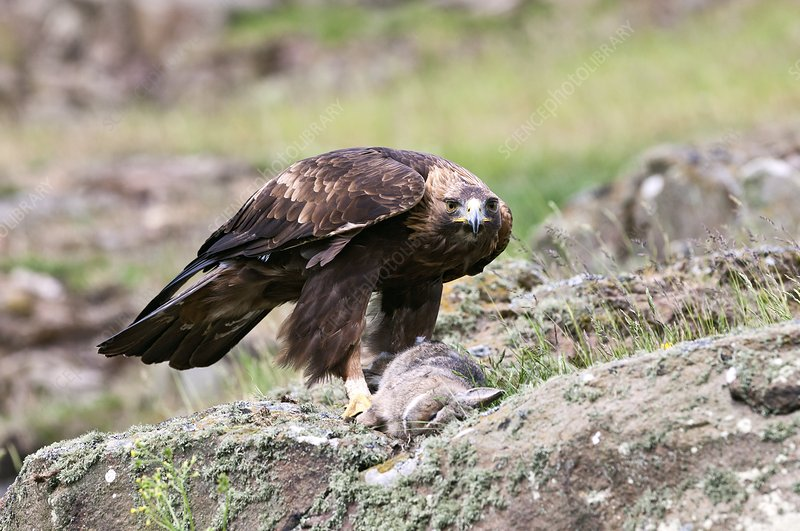 Golden eagle and prey