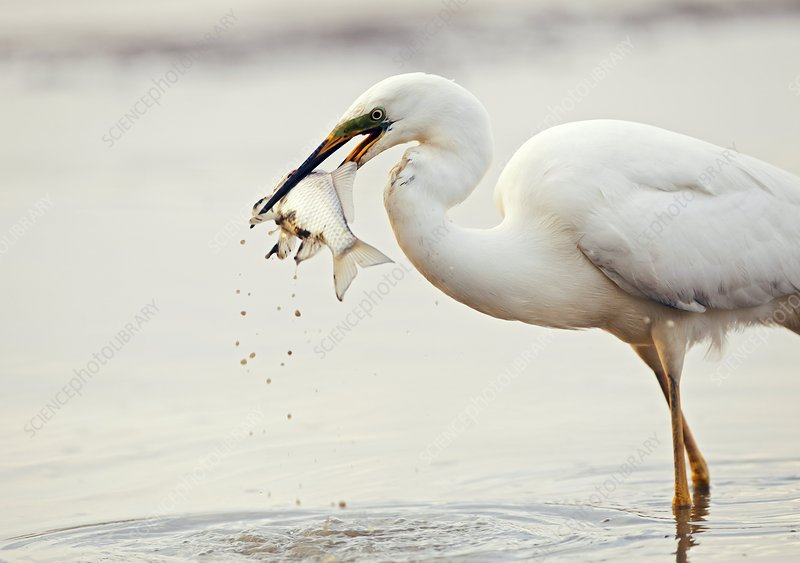 Great egret and prey