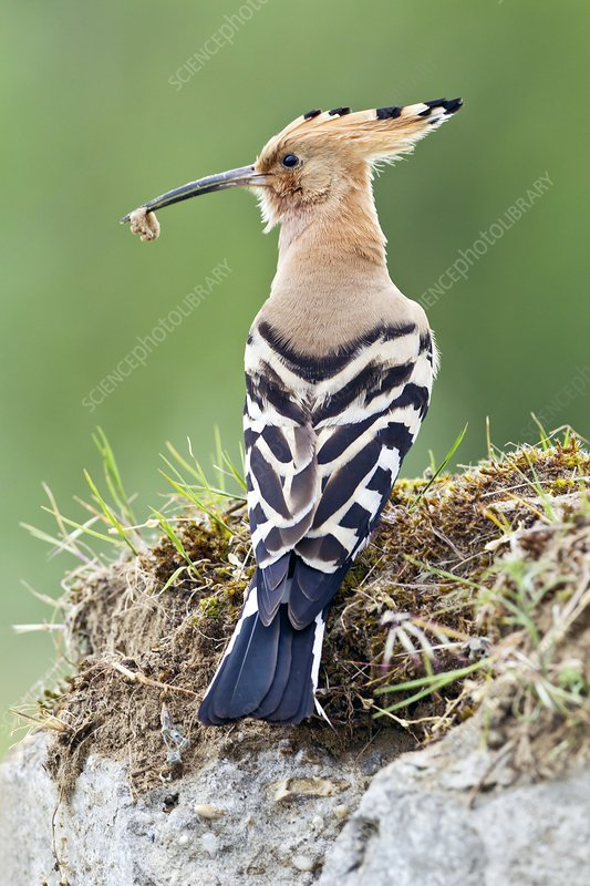 Hoopoe with an insect in its beak