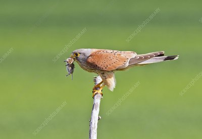 Common kestrel and prey