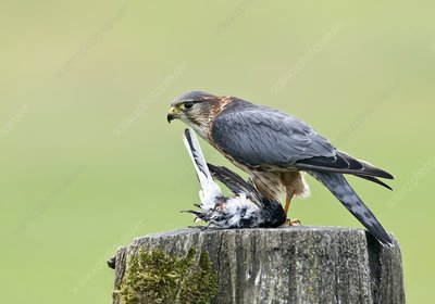 Merlin perched and prey
