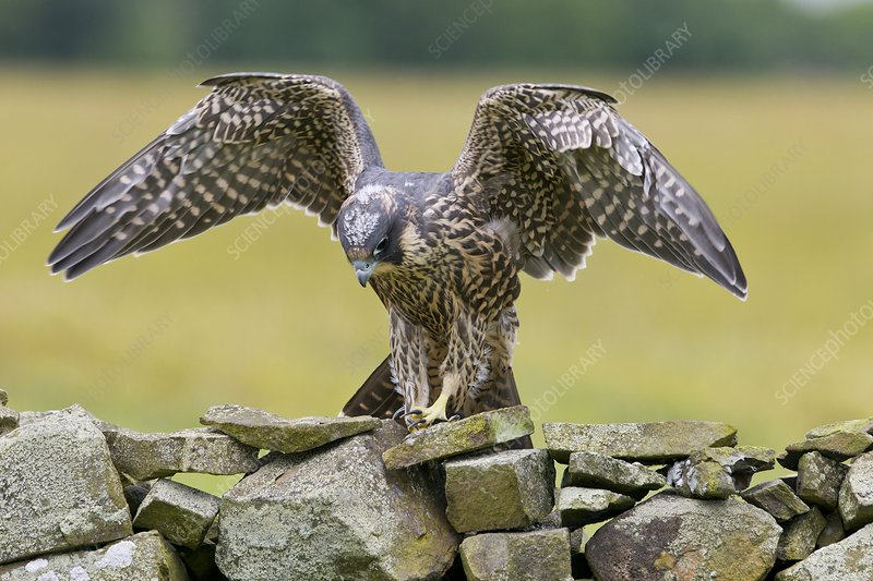 Peregrine falcon on a dry-stone wall
