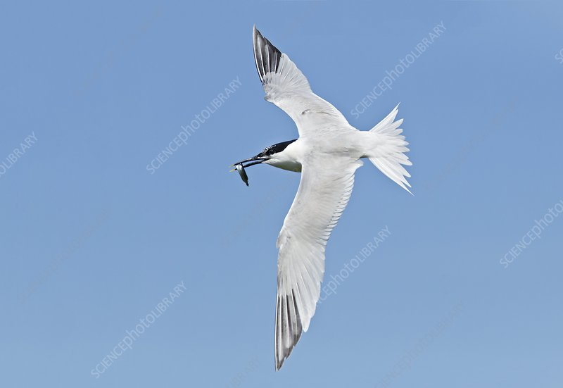 Sandwich tern carrying a fish