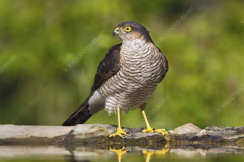 Sparrowhawk by a pool