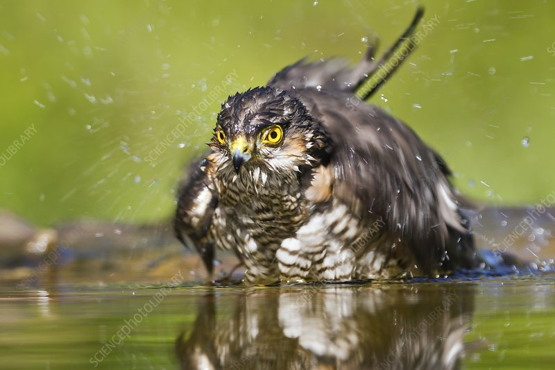 Sparrowhawk washing in a pool
