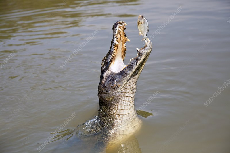 Yacare caiman catching a fish