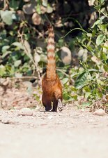 South American coati on the ground
