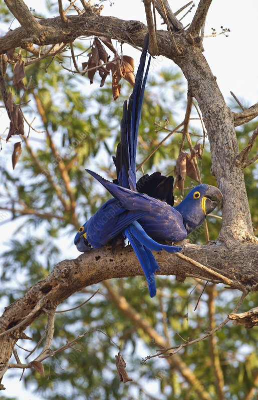 Hyacinth macaws in a tree
