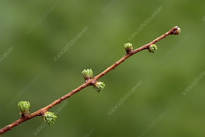 European larch (Larix decidua) needles