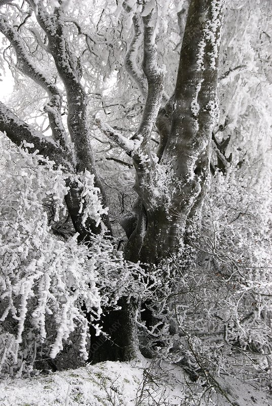 Frost-covered beech tree