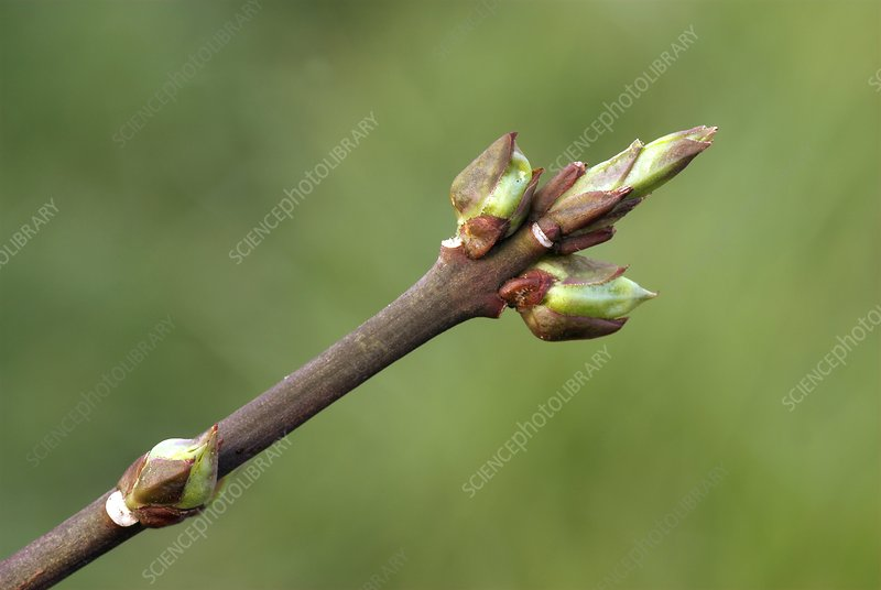 Spindle (Euonymus europaeus) buds