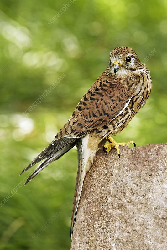 Common kestrel perched on a rock