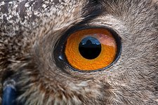 Eurasian eagle-owl eye