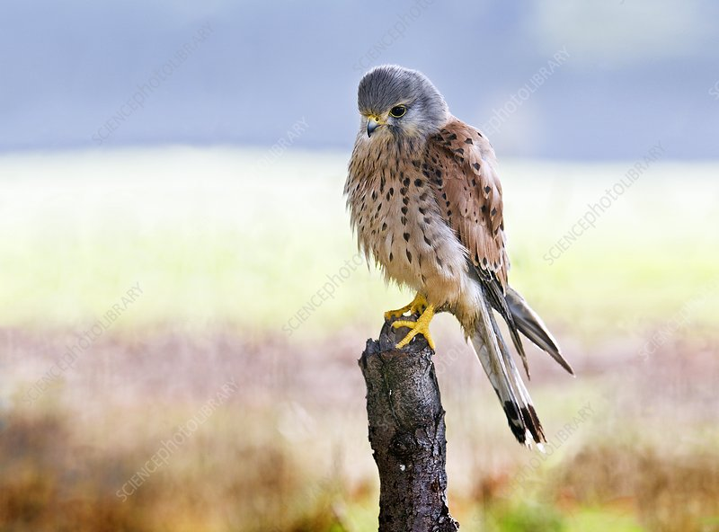 Common kestrel perched on a branch
