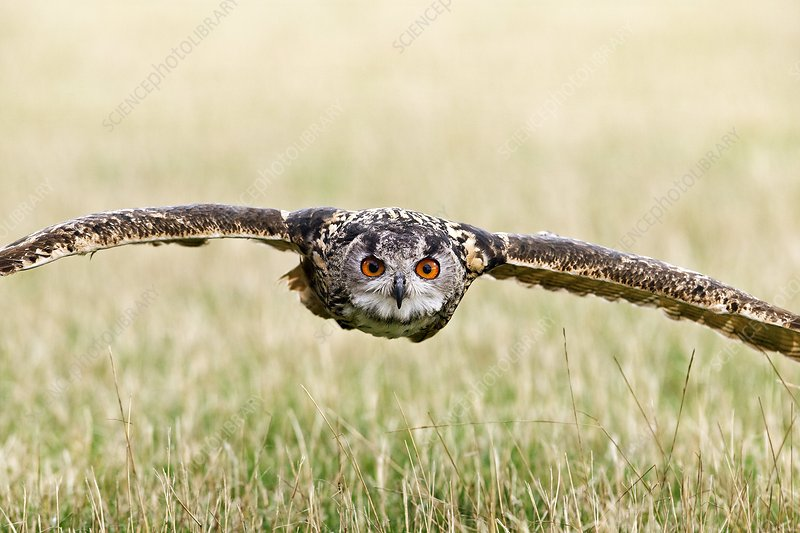 Eurasian eagle-owl in flight