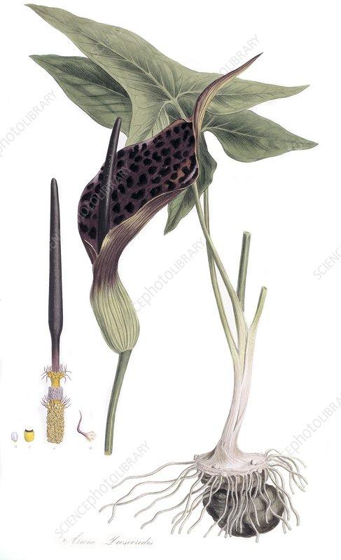 Arum dioscoridis, 19th century