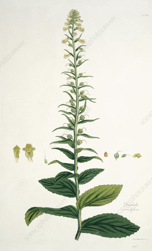 Digitalis viridiflora, 19th century