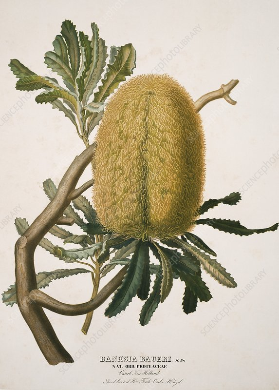 Woolly banksia, 19th century