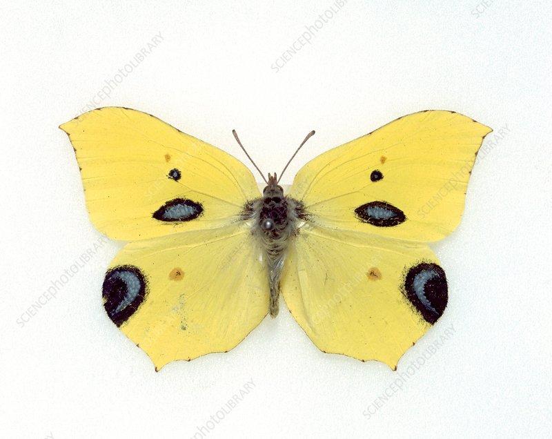 Papilio ecclipsis, hoax butterfly