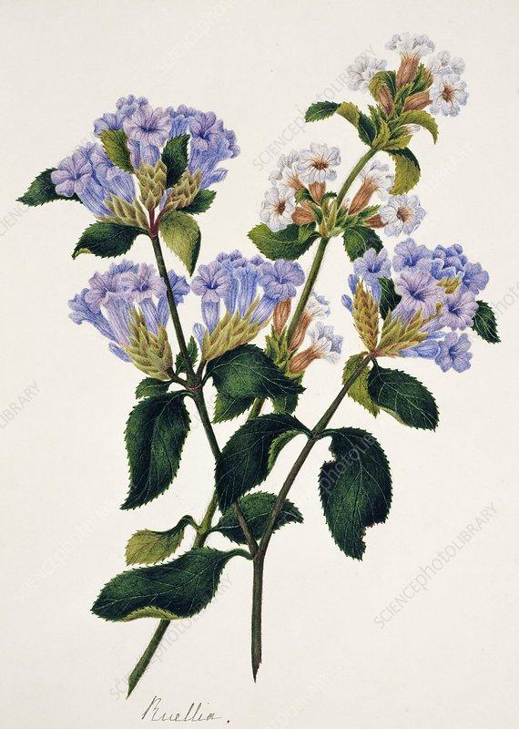 Strobilantes flowers