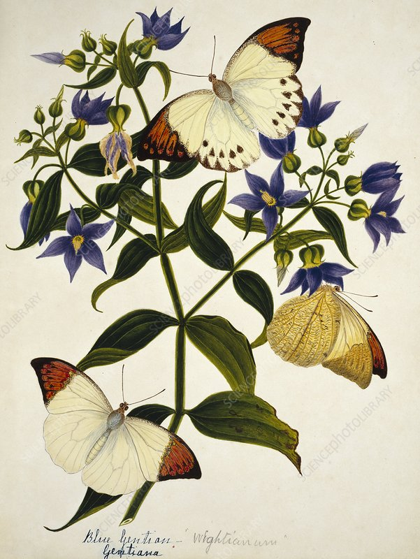 Indian butterflies and flowers