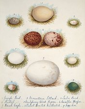 Bird eggs from India