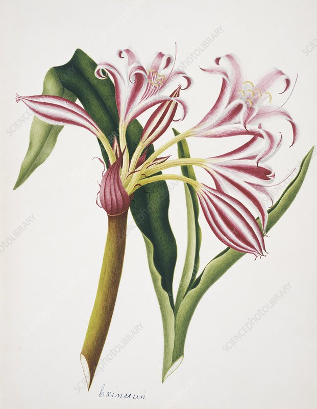 Crinum lily flowers