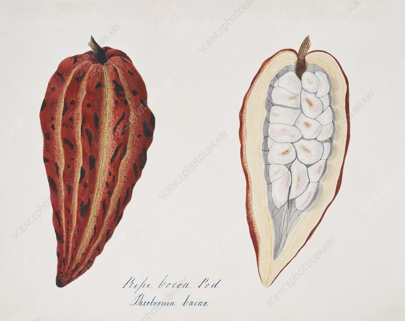 Chocolate cocoa pod