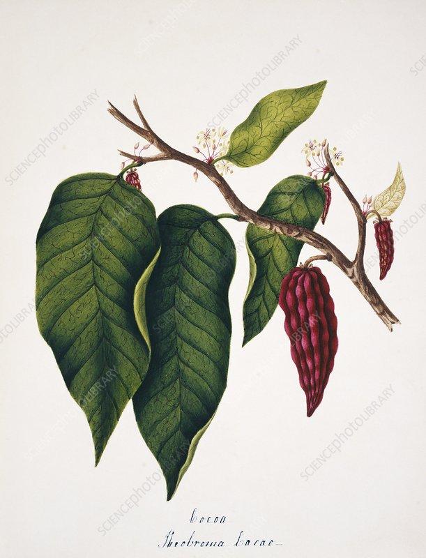 Chocolate cocoa plant
