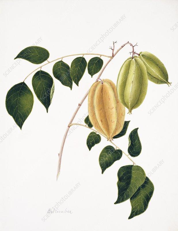 Cucumber tree fruits