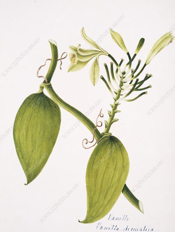 Vanilla plant flowers