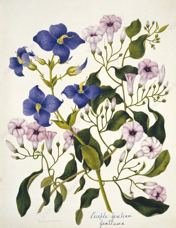 Purple gentian flowers
